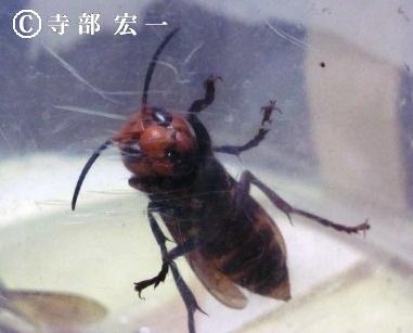 オオスズメバチの働き蜂
