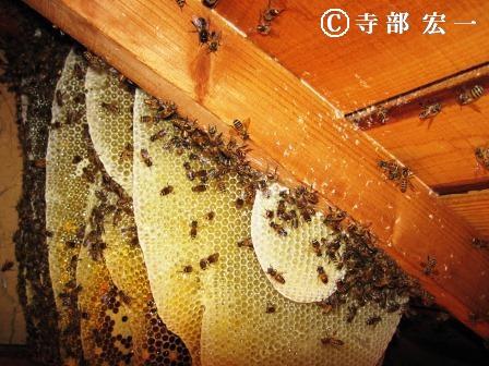 ニホンミツバチの巣