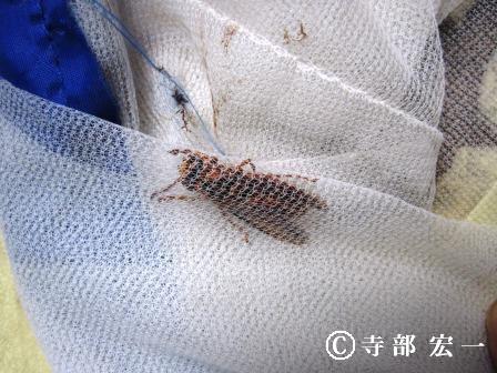 キイロスズメバチの働き蜂