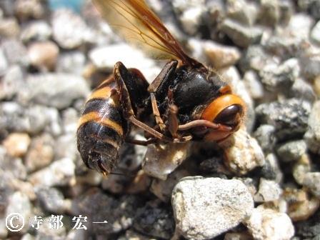 ヒメスズメバチの女王蜂