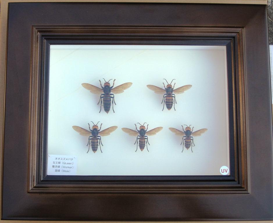 オオスズメバチ標本