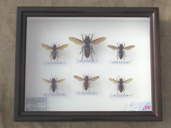 スズメバチ属 本州産 全6種の働き蜂 ドイツ型標本箱入り 展翅標本セット