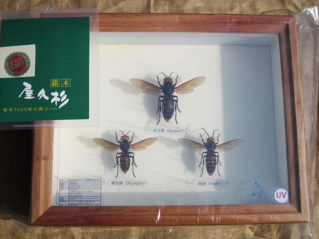 屋久杉材箱入オオスズメバチの展翅標本