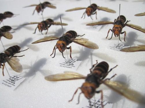 コガタスズメバチの標本