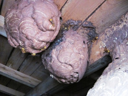 キイロスズメバチの巣