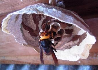スズメバチの画像 p1_6