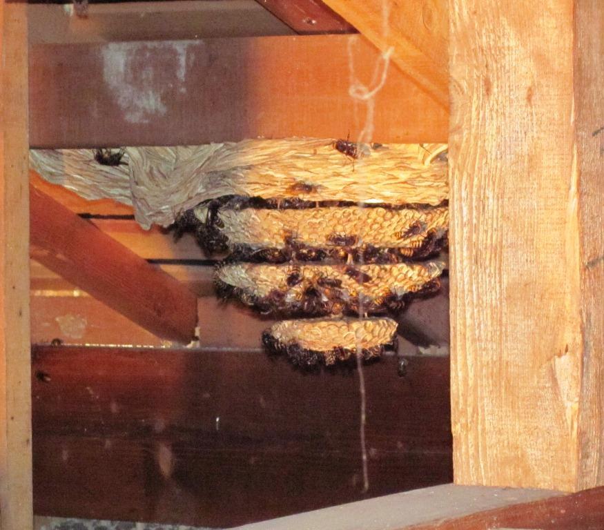 天井裏に巣を作ったモンスズメバチ < 天井裏に巣を作ったモンスズメバチ > モンスズメバチの巣の