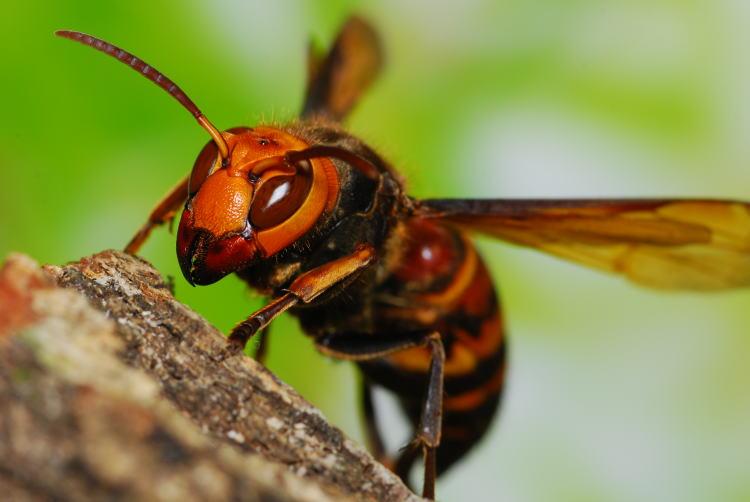 スズメバチ : 身近なところにい...
