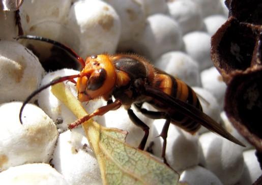 オオスズメバチの雄蜂 長い触角が特徴 < オオスズメバチの雄蜂 長い触角が特徴 > スズメバチっ