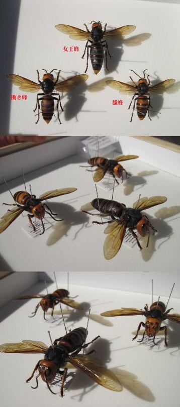 オオスズメバチの展翅標本セット
