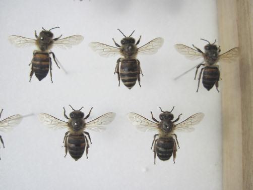 ニホンミツバチの標本